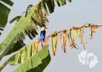 a passarinha, o pássaro mais respeitado em cabo verde